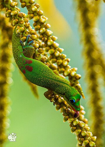Gecko at Lunch