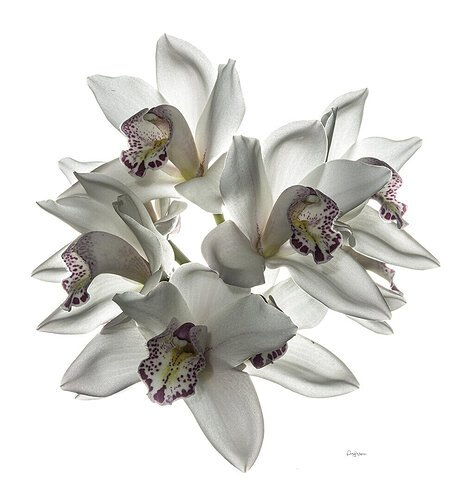 Orchid spp. - Quinta da Boa Vista, Funchal, Madeira.