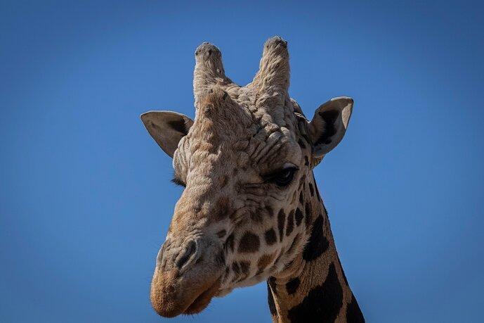 Portrait of the World's Tallest Animal