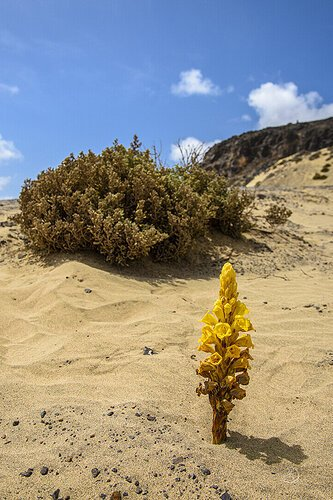 Cistanche tubulosa (Schrenk) Hook.f.  (desert hyacinth, fox radish, Thanoon,  ذانون )