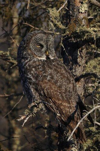 Great Grey Owl at Sax-Zim Bog, MN