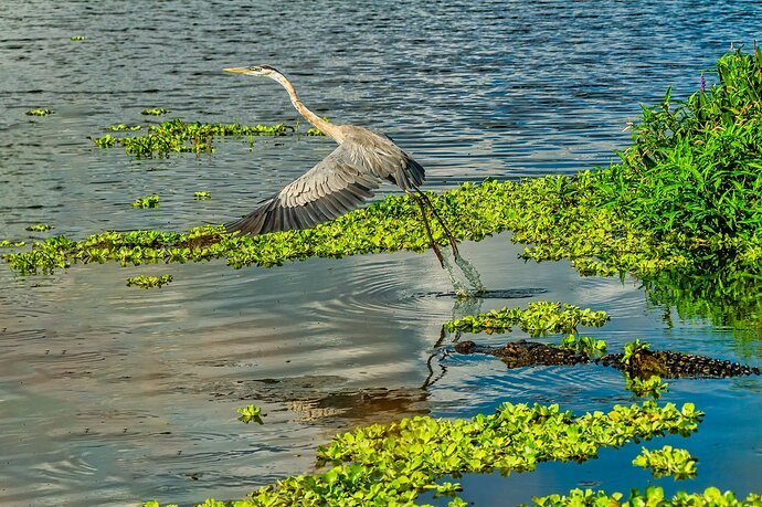 Alligator Scaring Off a Great Blue Heron