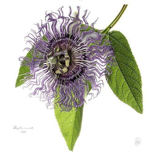 Passiflora caerulea (blue passionflower)