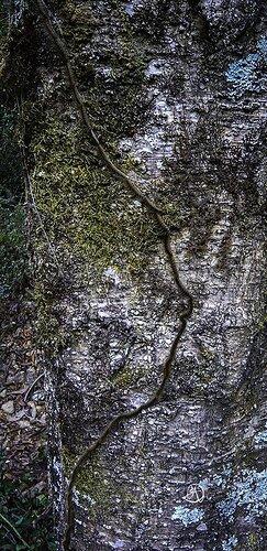 Thaumetopoea pityocampa   (Pine processionary)