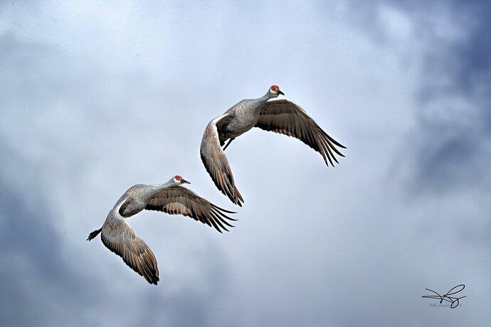 Tennessee Sandhill Cranes