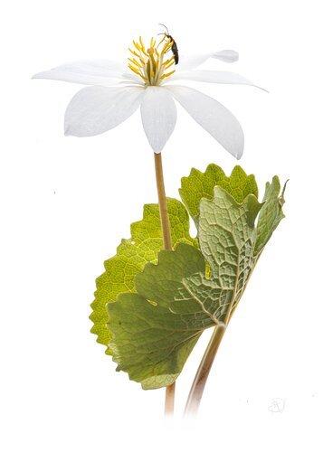Sanguinaria canadensis L.  (bloodroot)