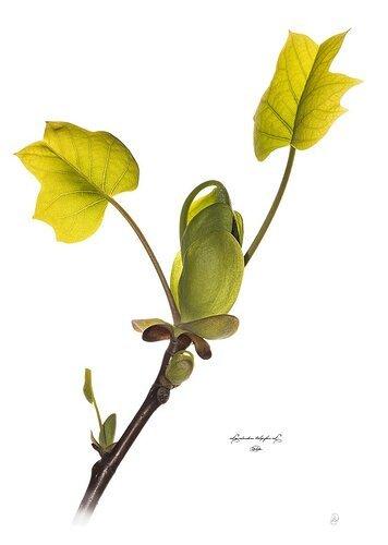 Liriodendron tulipifera L.  (tuliptree)